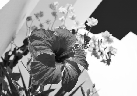 hibiscus, chinese rose on white wall and other flowers asky, summer, black and white, macro Reklamní fotografie - 116374152