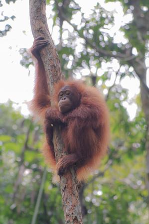 Orangutan on a background of green trees. The Orangutan park, Malaysia, Borneo, state Sarawak. The Hominids, Great Apes, Primates, Mammals, genus: Orangutans (Pongo pygmaeus), subfamily Pongidae.