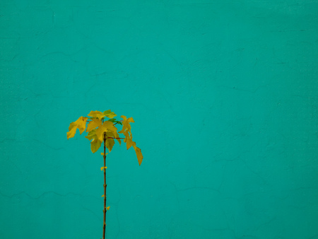 a small fresh growth of trees against the background of the green wall, a few petals, it is completely young