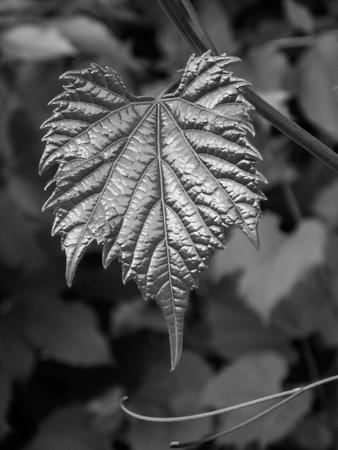 grape leaf against blurred foliage, black and white Reklamní fotografie - 116374378