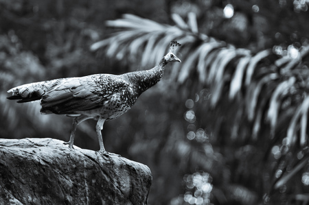 portrait of a bird,  peacock on a stone in forest on blurred background Reklamní fotografie - 116374467