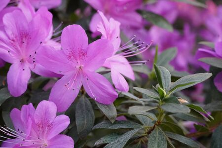 Blooming azaleas in the garden, blossoming flowers on the bushes in greenhouse