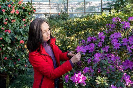 woman working in greenhouse with azalea flower bushes in botanical garden