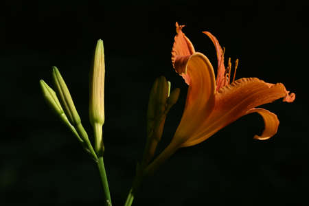 Orange lily flower, close-up on dark background with underexposure, beautiful nature macro photo, isolated object on black
