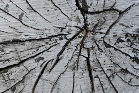 Slice of a wooden stump painted with white paint on the background of a fragment of nature, top view, macro