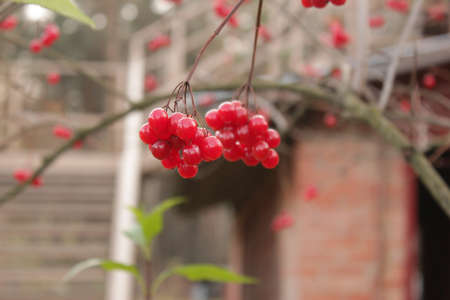 red viburnum on the tree