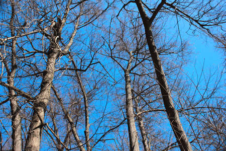 Trees on blue sky background in Spring without leaves
