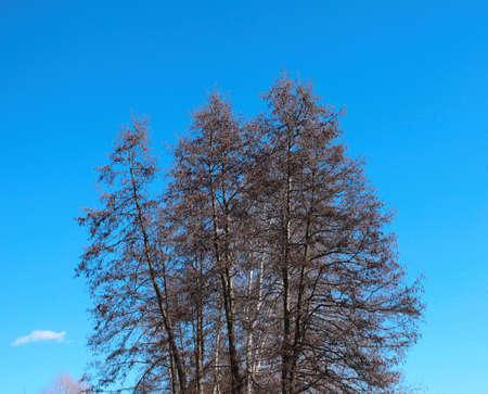 Die Krone eines Baumes gegen einen blauen Himmel mit hängenden Ohrringen Standard-Bild - 75226978