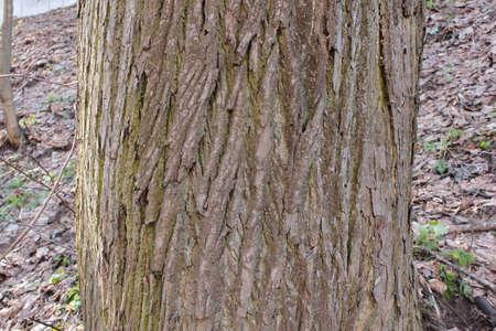 Der Stamm einer alten Linde, Hintergrund, Baumrinde Standard-Bild - 75250609