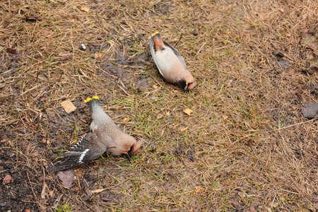 Zwei zerquetscht auf der Glasfenstervögel waxwings sind auf dem gelben Gras Standard-Bild - 75467988
