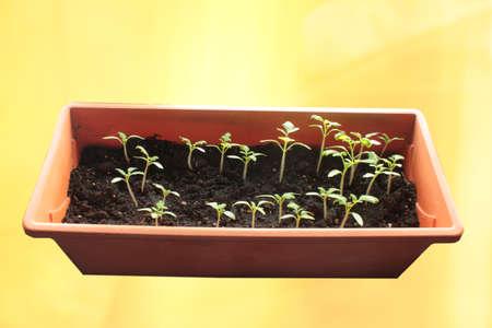Tomatensämlinge in einem Kasten auf einem Fenster auf einem sonnigen Gelb Standard-Bild - 75526513