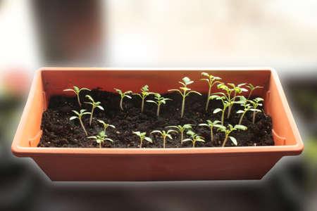 Tomatensämlinge in einem Kasten auf dem Fenster Standard-Bild - 75726408