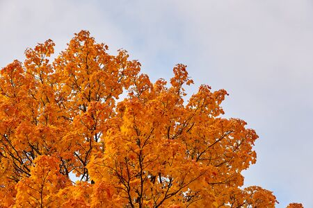 the top of the orange maple leaves against the sky Reklamní fotografie