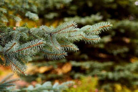 branches of blue spruce closeup Zdjęcie Seryjne