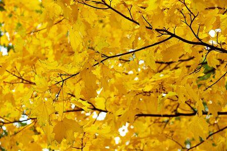 the yellow maple leaves against the sky Reklamní fotografie