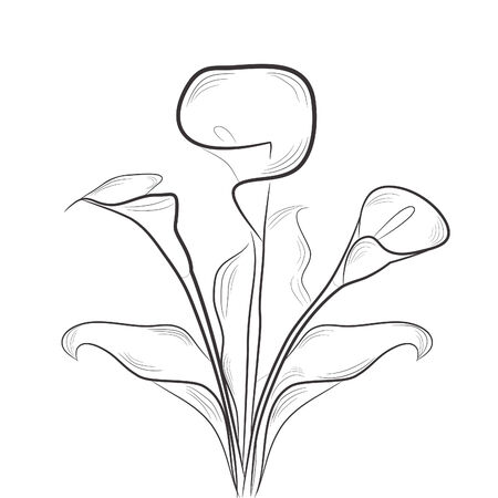 lily: Sketch with calla Illustration