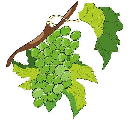 Grapevine Stock Vector - 6470534