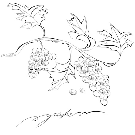 Sketch of grapes, Monochrome illustration Vector