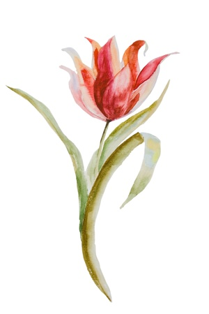 painting nature: Watercolor illustration of Tulip flower Stock Photo