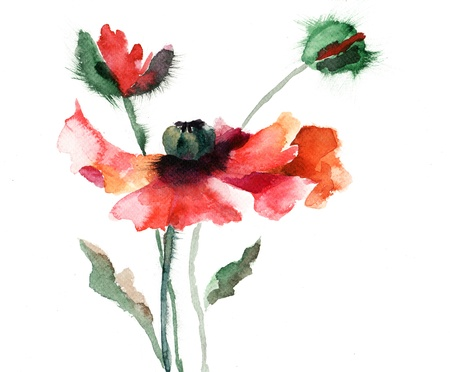 red poppy: Watercolor illustration of red poppy flower