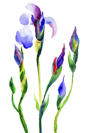 irises: Iris flowers, watercolor illustration Stock Photo