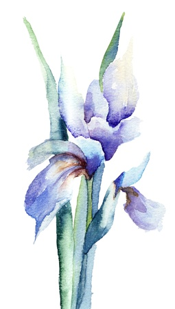 Iris flowers, watercolor illustration  illustration