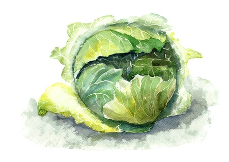 green cabbage: Watercolor illustration of cabbage Stock Photo