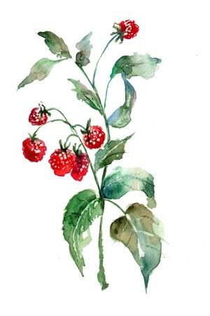raspberries: Raspberry, watercolor illustration