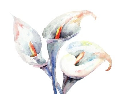 lily leaf: Calla Lily flowers, watercolor illustration