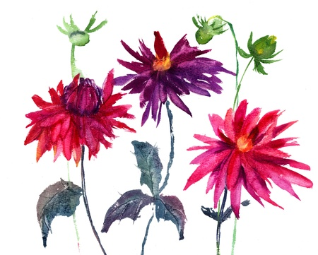 Dahlia flower, watercolor illustration  illustration