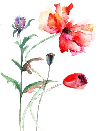 poppy flowers: Poppy flowers, watercolor illustration