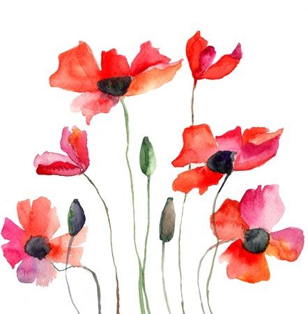 amapola: Coloridas flores rojas, ilustración acuarela