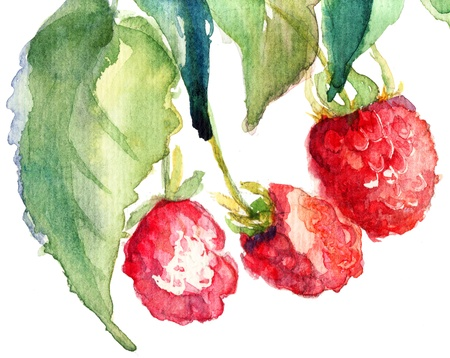 Raspberry, watercolor illustration  illustration