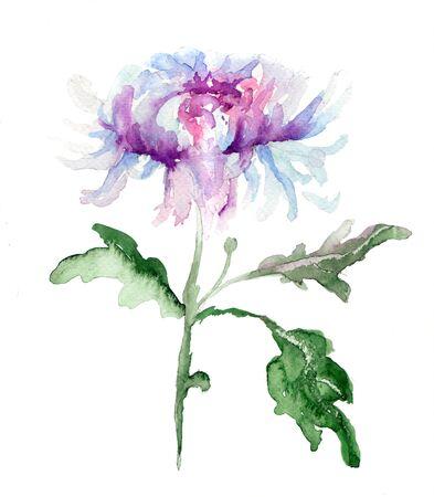 Stylized Chrysanthemum flower, watercolor illustration illustration