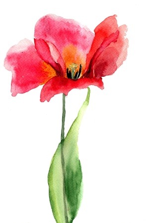 painting nature: Tulip flower, watercolor illustration