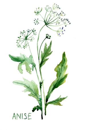 aromatic: Watercolor illustration of Anise Stock Photo