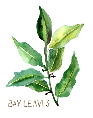 herbaceous  plant: Bay leaves, watercolor illustration