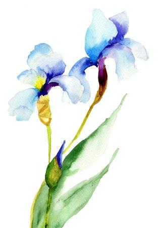 iris flower: Iris flowers, watercolor illustration