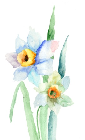 florescence: Narcissus flower. Watercolor illustration  Stock Photo