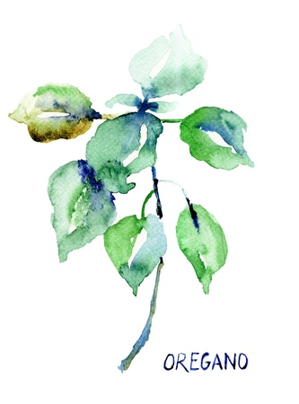 Watercolor illustration of Oregano