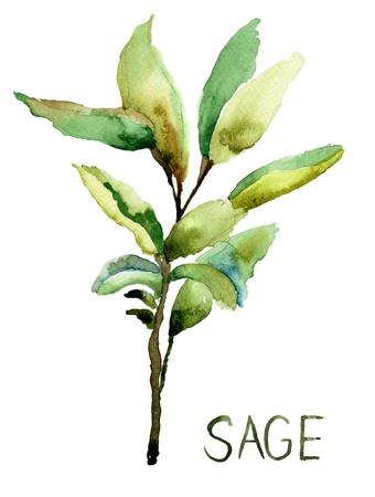 Sage, acquerello illustrazione Archivio Fotografico - 17664598