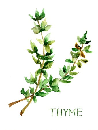 aromatic: Thyme, watercolor illustration Stock Photo
