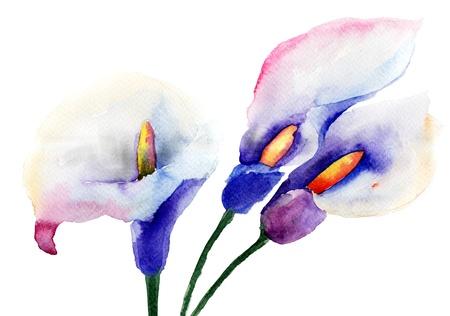 calla lily: Calla Lily flowers, watercolor illustration