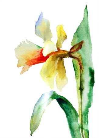 narcissus: Watercolor illustration of Narcissus flower