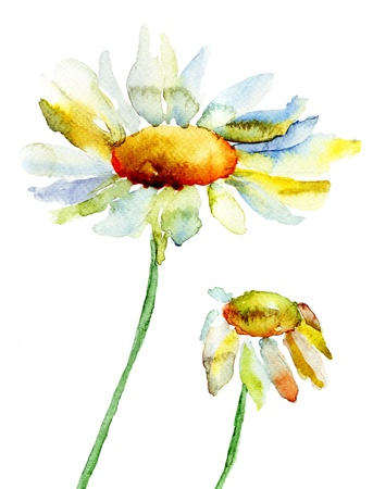 chamomile: Camomile flowers, watercolor illustration Stock Photo