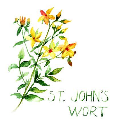 wort: Common St Johns Wort, watercolor illustration