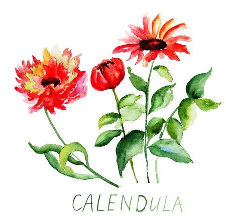 Calendula flowers, watercolor illustration Stock Photo