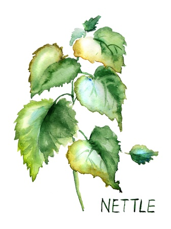 Stinging nettle, watercolor illustration Stock Photo