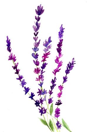 flores moradas: Flor de la lavanda, de la acuarela