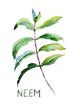 herbal medicine: Neem leaves, watercolor illustration
